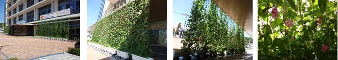 緑のカーテン 庁舎R1